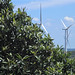 Small photo of Medlar tree and windmills