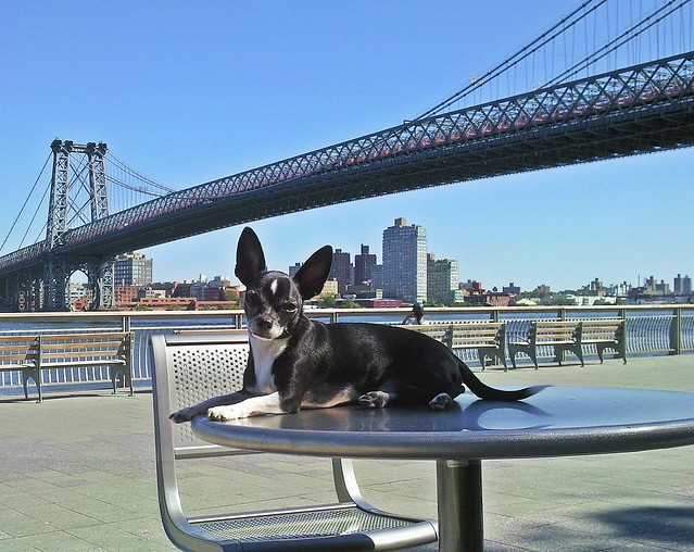 Chihuahua East River Park Williamsburg Bridge