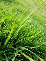 field, leaf, grass, chrysopogon zizanioides, herb, green, lawn, grassland,