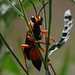 Sphex ichneumoneus- Great Golden Digger Wasp
