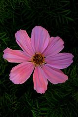 blossom(0.0), macro photography(0.0), wildflower(0.0), plant stem(0.0), annual plant(1.0), flower(1.0), garden cosmos(1.0), yellow(1.0), plant(1.0), flora(1.0), cosmos(1.0), pink(1.0), petal(1.0),