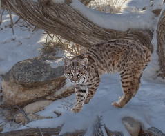 snow leopard(0.0), animal(1.0), leopard(1.0), small to medium-sized cats(1.0), pet(1.0), mammal(1.0), lynx(1.0), fauna(1.0), cat(1.0), wild cat(1.0), whiskers(1.0), bobcat(1.0), wildlife(1.0),
