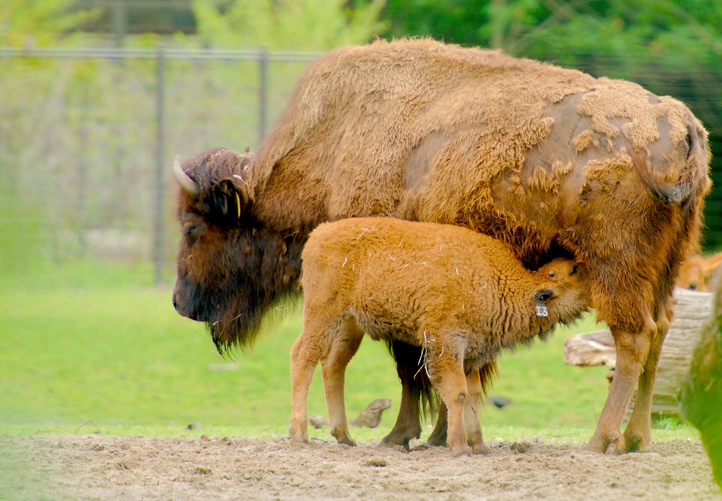 American Bison_12