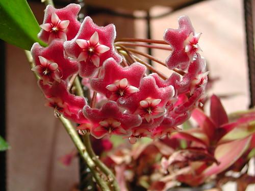 Hoya pubicalyx - Page 5 34814118203_b4bfdfab7b