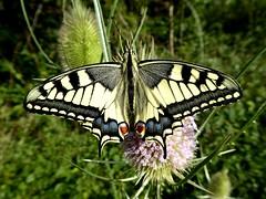 Machaon - Swallowtail