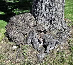 Bump on a tree trunk