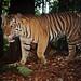 Sumatran Tiger by Arddu