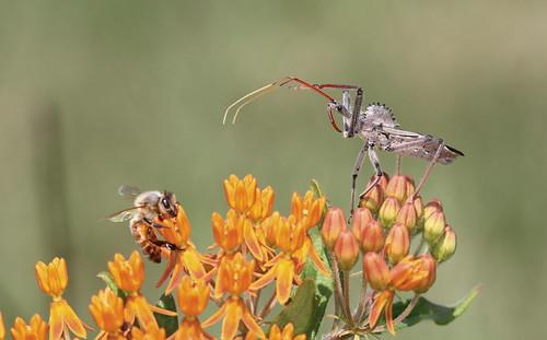 predator honeybee assassinbug wheelbug butterflyweed ariluscristatus mywinners superaplus aplusphoto dinosaurbug wheelbugrap