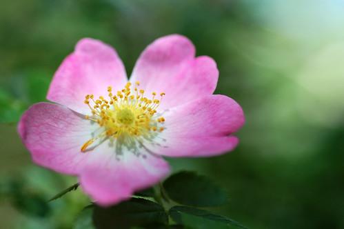 pink macro nature rose oregon bokeh wildrose 60mm nikkor wildflower ashland rosaceae jacksoncounty woodrose rosagymnocarpa nativerose ordesontoddwoods
