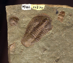 wood(0.0), invertebrate(0.0), insect(0.0), fauna(0.0), pest(0.0), animal(1.0), trilobite(1.0), geology(1.0), fossil(1.0),