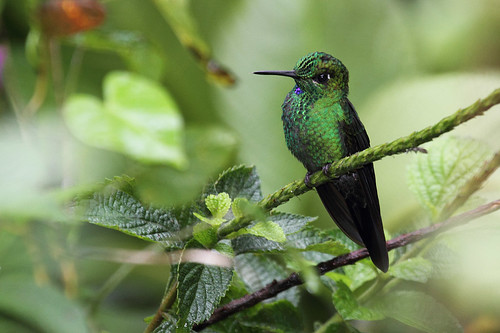 Green-crowned Brilliant (male), Bosque de Paz