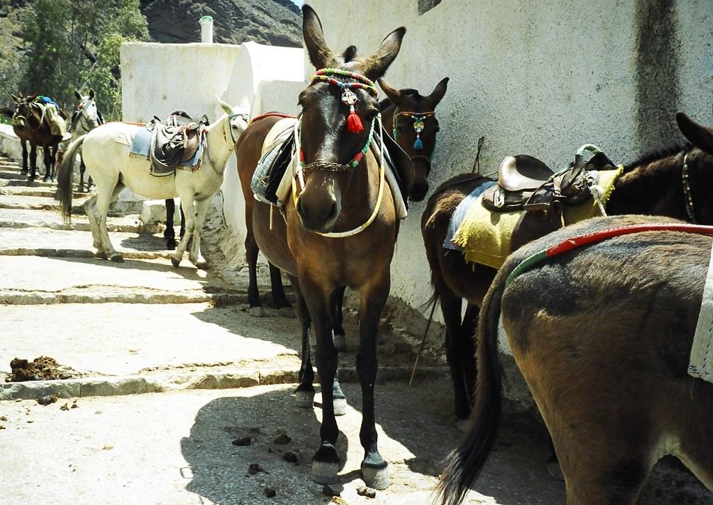 Cute Donkeys, Santorini, Cyclades, Greek Island, Greece
