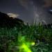 Firefly which looks at Milky Way by masahiro miyasaka