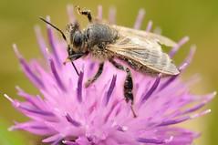 HolderHoney Bee in Thistle