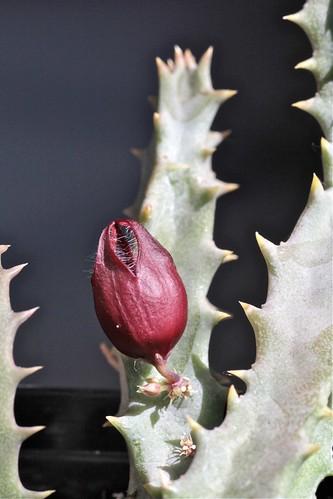 Stapelianthus saxatilis (Apocynaceae)
