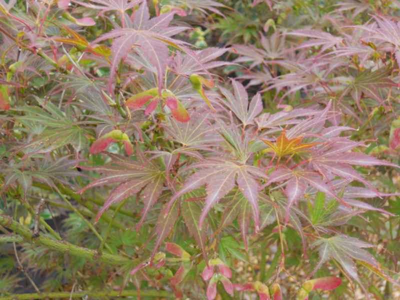 Acer palmatum 'Atropurpureum' 2.jpg