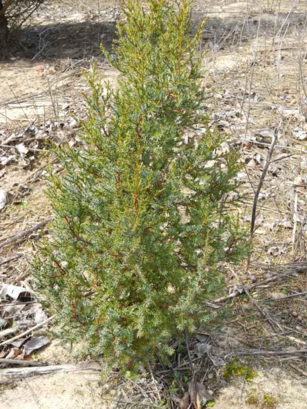 Juniperus chinensis.. v 2
