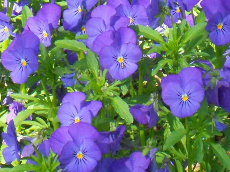 Viola cornura morada 1