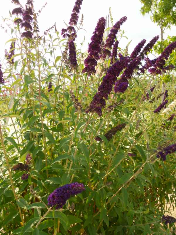 Buddleja davidii 'Black Knight' v 1