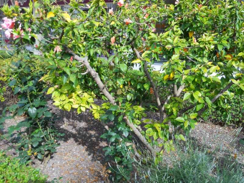 Hibiscus rosa sinensis 'Lissabon' 1