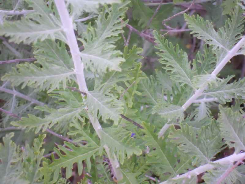 Jardineros en acción - Perovskia atriplicifolia