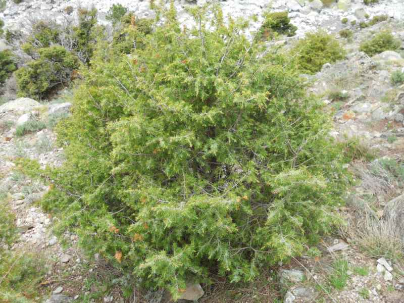 Juniperus communis 1