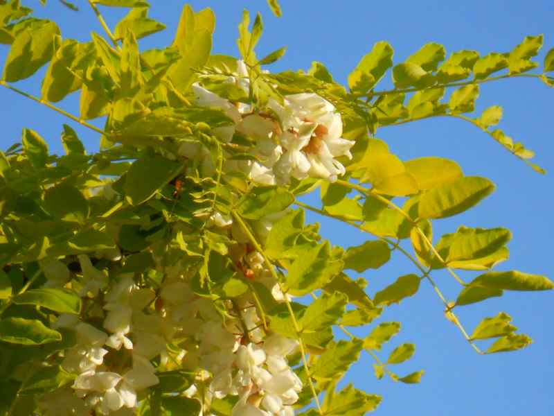 Robinia pseudoacacia 'Frisia' detalle flor 2