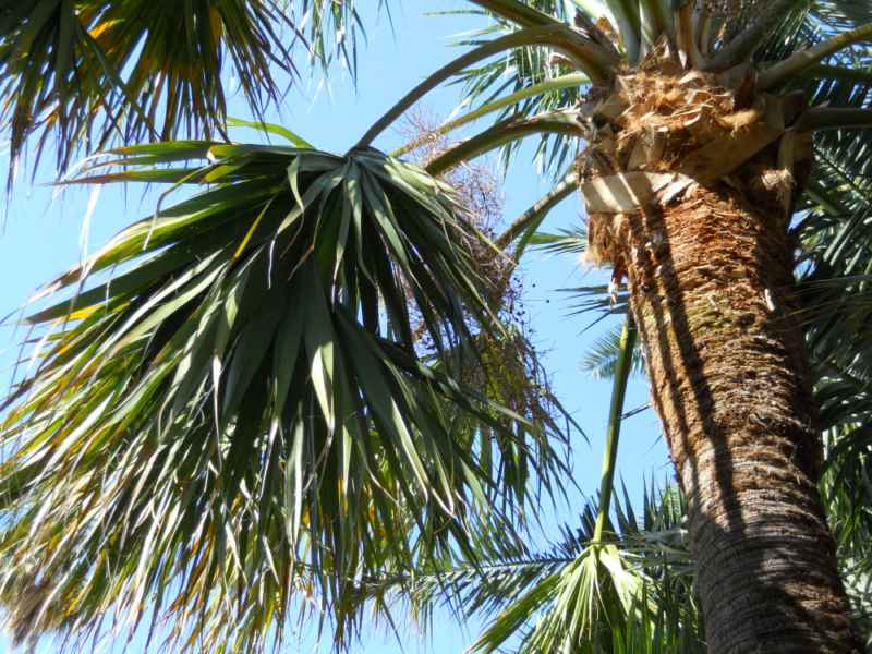 Sabal palmetto 2