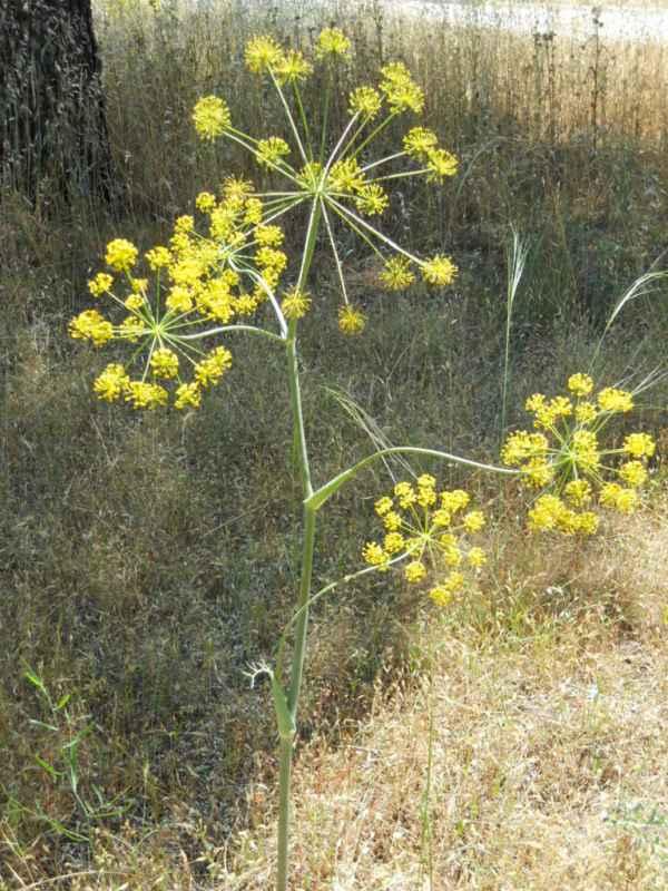 Foeniculum vulgare 'Rubrum' v 2