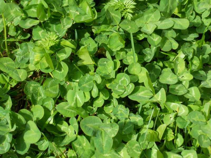 Trifolium repens 4