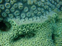coral reef, animal, coral, brain coral, organism, marine biology, green, underwater, reef,