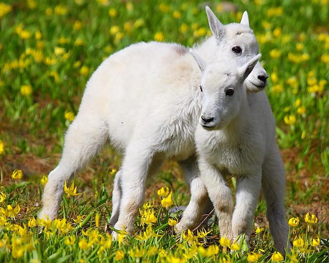 IMG_2953 Mountain Goat Kids, Glacier National Park