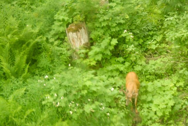 เห็นกวางตอนอยู่ใน Gondola ด้วย มีคนบอกว่าเคยเจอหมีอยู่แถวๆ นี้ด้วย?