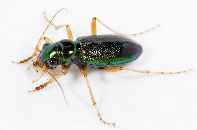 Tetracha (Megacephala) virginica--a nocturnal tiger beetle