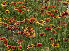 gaillardia, annual plant, prairie, flower, field, garden, plant, herb, wildflower, flora, meadow,