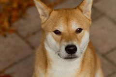 dog breed, animal, dingo, akita inu, dog, carolina dog, canaan dog, pet, korean jindo dog, norwegian lundehund, carnivoran, basenji,