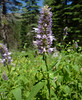 Hyssop - Photo (c) randomtruth, some rights reserved (CC BY-NC-SA)