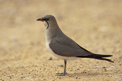 collared pratincole rb