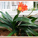 Clivia miniata in a raised concrete bed