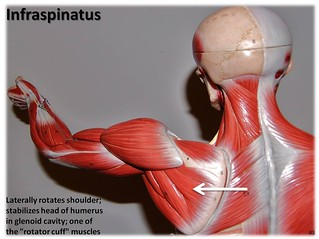 Infraspinatus - Muscles of the Upper Extremity Visual Atlas, page 43