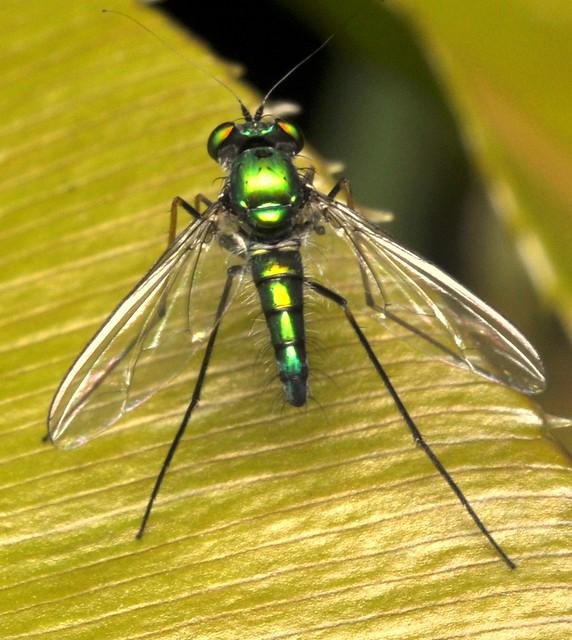 Golden Green Long-Legged Fly - 1