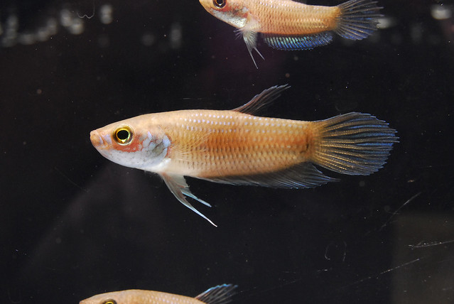 My photography journey wild betta of malaysia for Wild betta fish