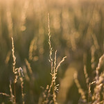 Summer Grasses Detail