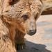 Small photo of Female Syrian Bear