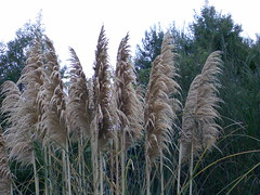 WET PAMPAS GRASS