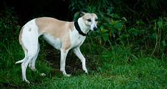 dog sports, dog breed, animal, magyar agã¡r, dog, polish greyhound, whippet, galgo espaã±ol, sloughi, pet, greyhound, carnivoran,