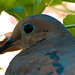 Mourning Dove In The Morning