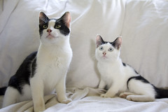 khao manee(0.0), burmilla(0.0), european shorthair(0.0), american shorthair(0.0), tonkinese(0.0), balinese(0.0), manx(0.0), animal(1.0), kitten(1.0), small to medium-sized cats(1.0), pet(1.0), mammal(1.0), snowshoe(1.0), thai(1.0), cat(1.0), whiskers(1.0), domestic short-haired cat(1.0),