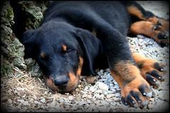 puppy(0.0), dog breed(1.0), animal(1.0), dog(1.0), pet(1.0), jagdterrier(1.0), rottweiler(1.0), carnivoran(1.0),