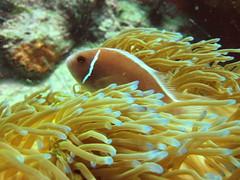 anemone fish(0.0), stony coral(0.0), cnidaria(0.0), coral reef(1.0), animal(1.0), coral(1.0), yellow(1.0), coral reef fish(1.0), organism(1.0), marine biology(1.0), invertebrate(1.0), macro photography(1.0), marine invertebrates(1.0), close-up(1.0), underwater(1.0), reef(1.0), sea anemone(1.0),